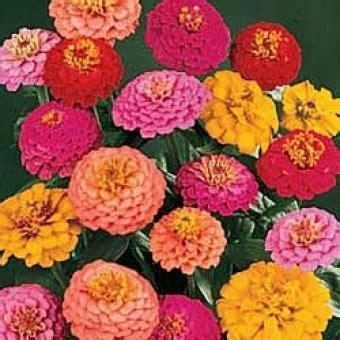 10 Benih Biji Bunga Zinnia Carpet bibit bunga zinnia california