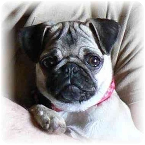 pug wa polly the pug adopted polly seattle c o kingston 98346 washington state wa