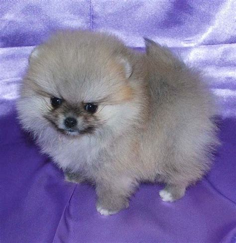 teacup pomeranians for sale in louisiana pomeranian puppies for sale in louisiana zoe fans teacup pomeranian different