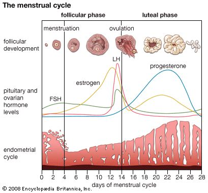 Menstrual Cycle | Naija247Medic's Blog Female Period Cycle