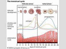 Menstrual Cycle   Naija247Medic's Blog Female Period Cycle