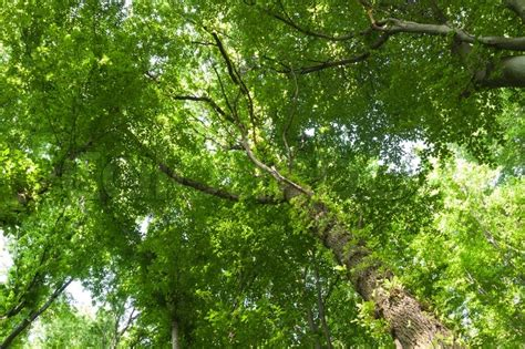 Trees With Canopy Birch Tree Canopy Stock Photo Colourbox