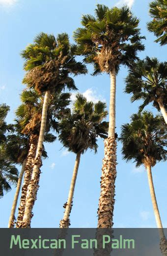 How Fast Do Palm Trees Grow In Arizona Trim A Tree