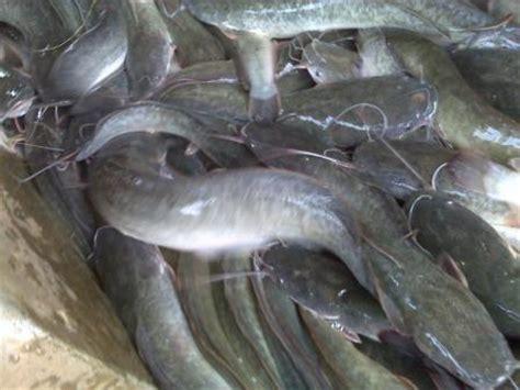 ikan lele lele sangkuriang