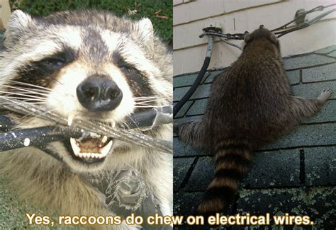 animals chewing wires raccoons can and do chew on electrical wires
