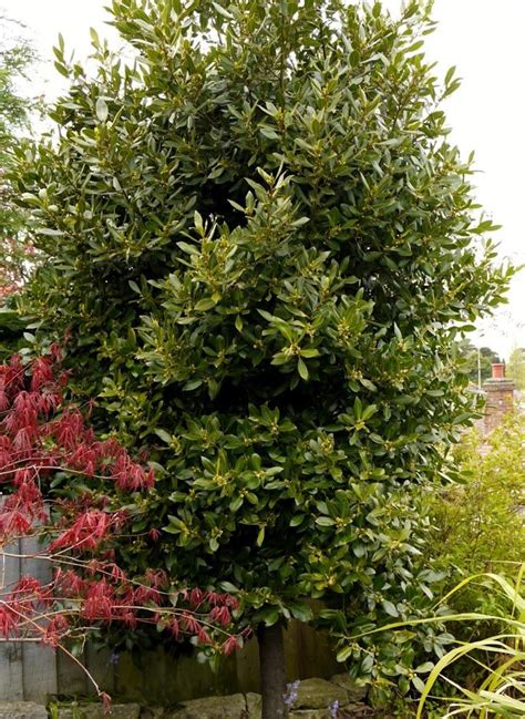 laurus bay tree evergreen shrubs plants garden supplies
