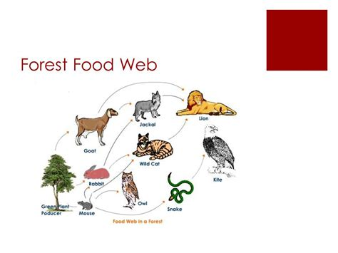 forest food chain diagram diagram of a forest food web wiring diagram schemes