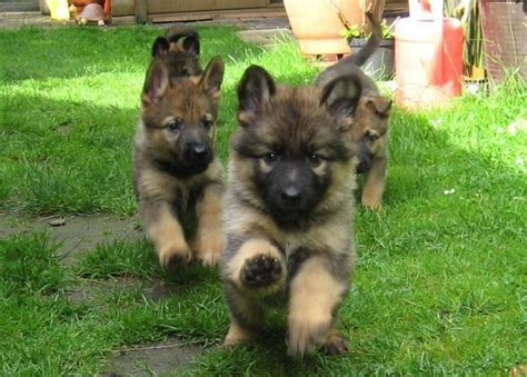 too cute german shepherd puppies german shepherd puppies aaaaaaaaahhhhhhhhh your so cute
