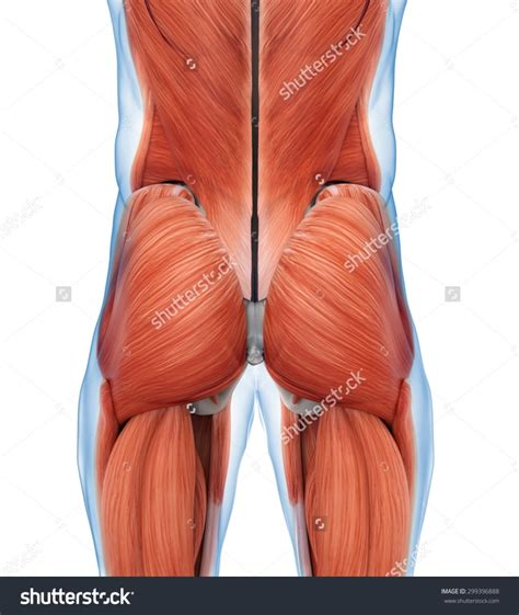 buttock muscles diagram gluteal muscles anatomy anatomy gluteus anatomy