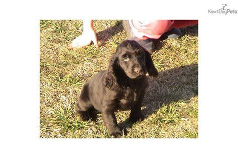 boykin spaniel puppies for sale boykin spaniel puppy for sale near carolina d397fc09 3641