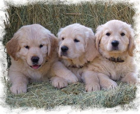 golden retriever standards golden retrievers