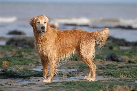 catcombe golden retrievers st vincents golden retrivers uk
