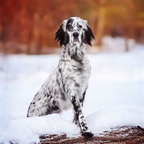 setter dog black get to know the english setter energetic enchanting