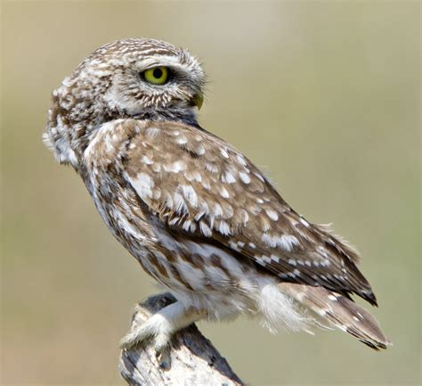 don t look back in anger little owl by jamie macarthur