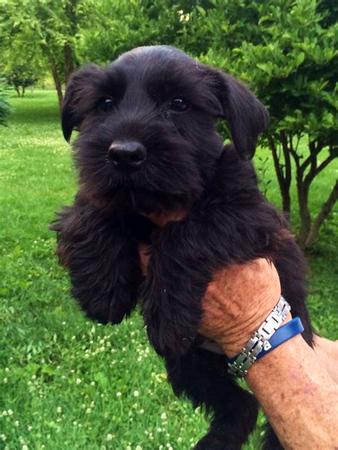 black miniature schnauzer puppies for sale akc black miniature schnauzer puppies for sale on the hunt
