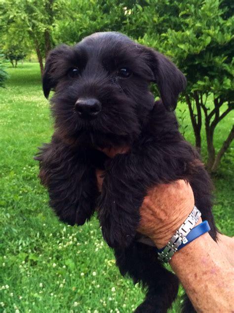 black schnauzer puppies for sale akc black miniature schnauzer puppies for sale on the hunt