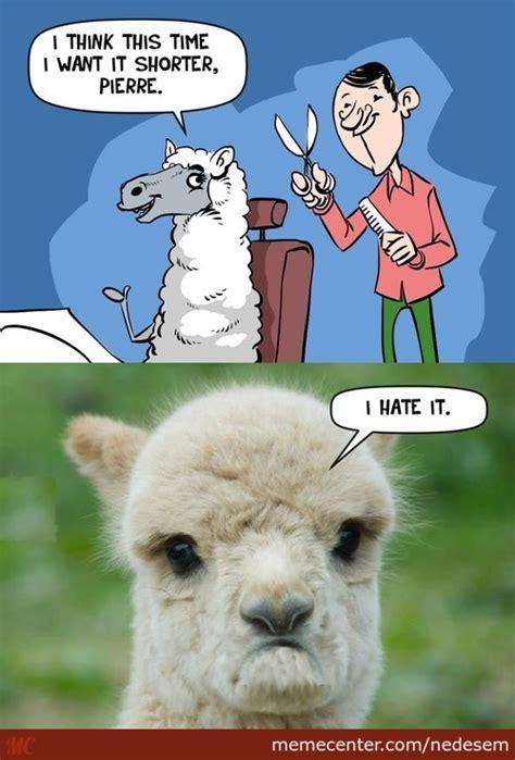Llama Birthday Meme - llamas funny memes best collection of funny llamas funny