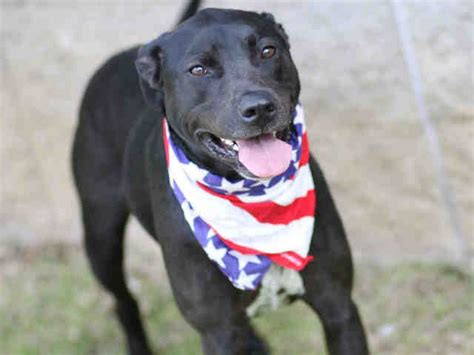 puppies for adoption tallahassee 17 best ideas about pointer on gsp puppies lab mix puppies and