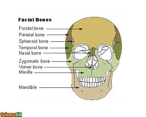 these are the bones that i want for my bathroom i love bones of the human skull scienceaid