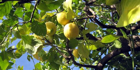 albero di limoni in vaso pianta di limoni in vaso calamondino with pianta