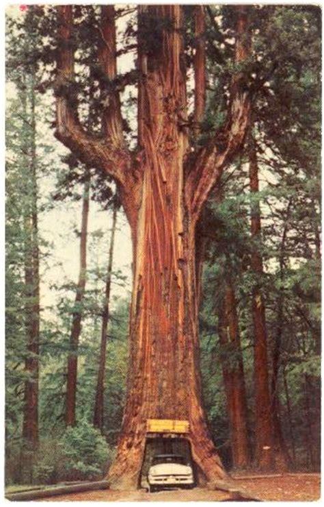 Chandelier Redwood Tree California Redwood Highway Underwood Park Chandelier Tree 1950s 1575