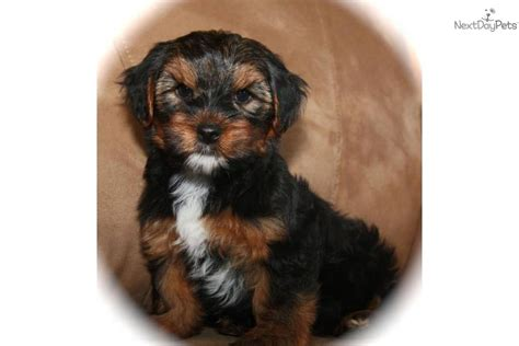 black and yorkie puppies black gold yorkie black gold