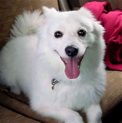 American Eskimo Shed by American Eskimo Breeds Photos And Dogs