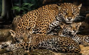 Le Jaguar The 4 Big Cats Pictures To Pin On Pinsdaddy