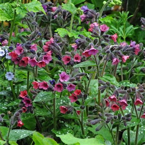 Plant Brooch pulmonaria brooch dorset perennials