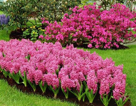 fiori bulbi primaverili giacinto hyacinthus orientalis hyacinthus orientalis