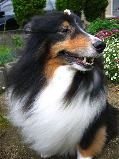 tri color sheltie 301 moved permanently