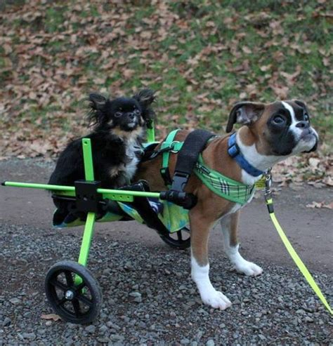 oregonlive puppies boxer puppy in vancouver adapts well to on two legs oregonlive