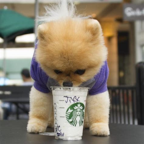 boo the pomeranian owner jiff at starbucks boo world s cutest others