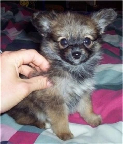 papillon vs pomeranian paperanian breed pictures