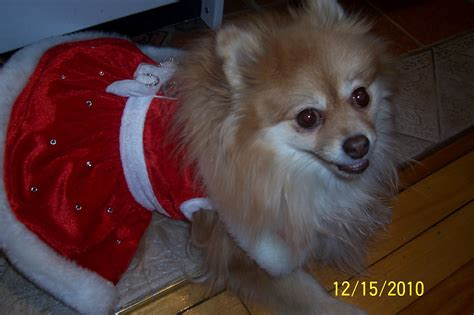 different breeds of pomeranian dogs all list of different dogs breeds pomeranian small breeds