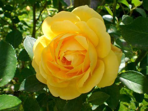 gratis billeder blomst kronblad rose romantisk gul