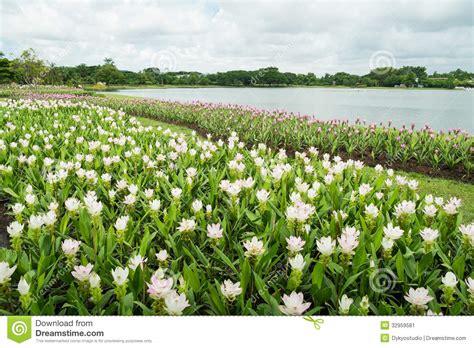 Viburnum Tinus 039gwenllian039 Pink White Flower Garden White Flower Gardens