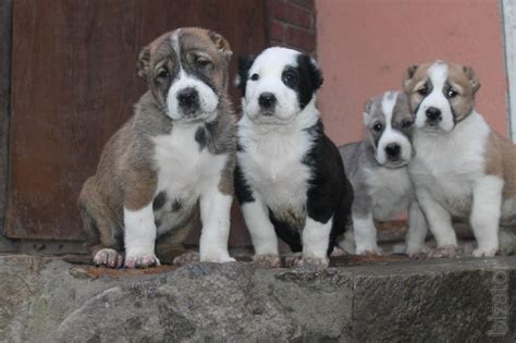 alabai puppies for sale puppies for sale alabai from 3 fold chion of the rbm buy on www bizator