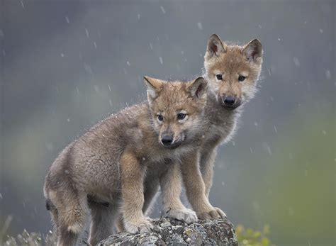 grey wolf puppies for sale the gallery for gt grey wolf puppies for sale