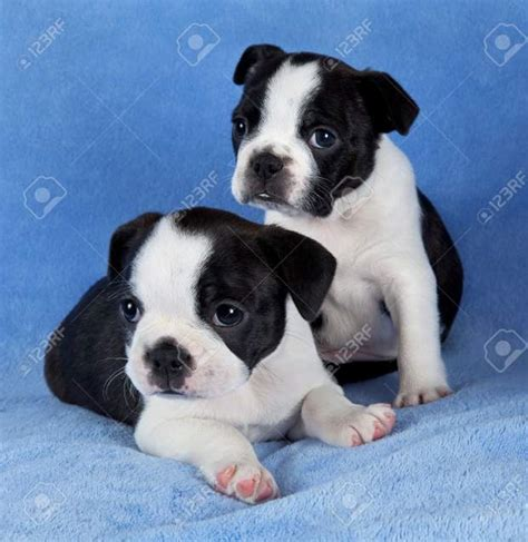 alimentazione boston terrier boston terrier beautycucciolihome foto 165 273410