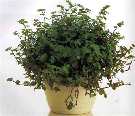 callisia bloemen miniature wandering jew callisia repens 1 live plant