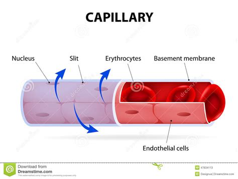 diagram of a capillary capillary blood vessel labelled stock vector