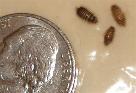 flea larvae on bed bed bug hysteria leads to misidentified carpet beetle