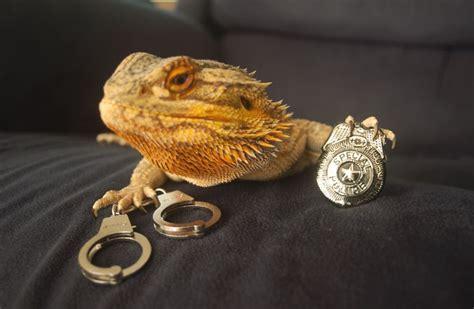 how often do bearded dragons go to the bathroom meet pringle the cute bearded dragon that never gets