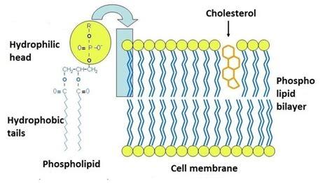 biochemistry     common lipids  cell