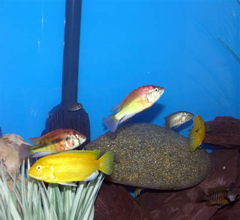 cichlids what is this fish what does the look like