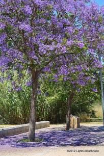 light colour shade summer colours flowering trees the