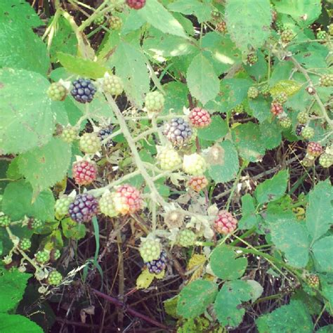 Themes Of Blackberry Picking | on blackberry picking fiona lynnefiona lynne
