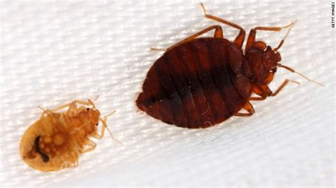 bed bugs at work baby roaches or bed bugs www pixshark com images