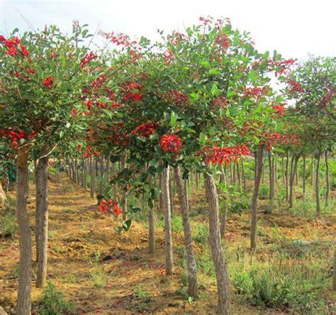Tanaman Kebun Taman Hidup Bibit Unik Nangka Merah jual bibit dadap merah harga murah